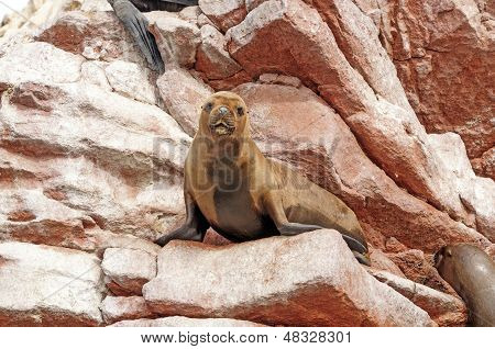 Female Sea Lion On Coastal Rocks