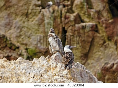 Young Penguin And A Booby On A Rock