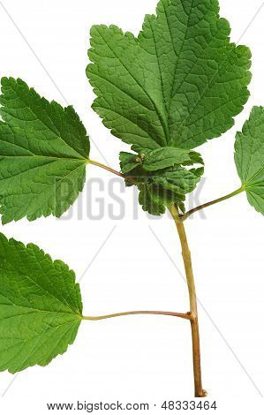 Diseased Red currant leaves attacked by aphids