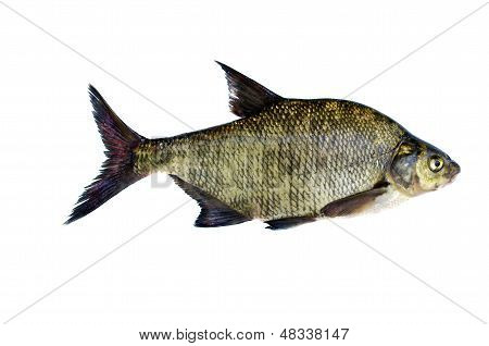 Big Fresh Fish Bream Isolated On White