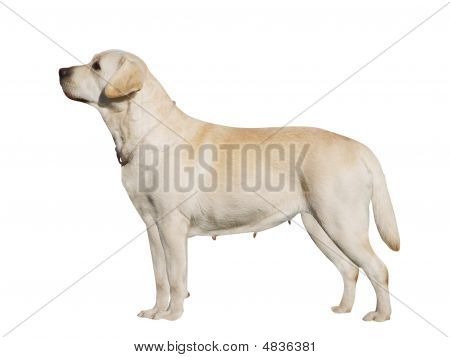 Labrador Bitch