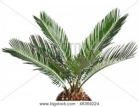 sago palm tree isolated on white background