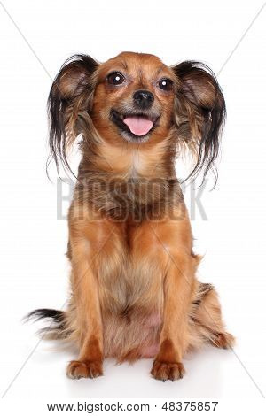 Russian Long-haired Toy Terrier