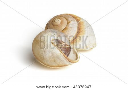two brown sea snail shells on a white background