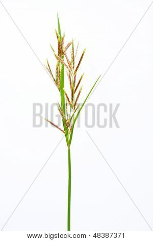 long grass meadow closeup on white isolate background