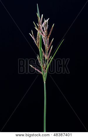 long grass meadow closeup on black isolate background
