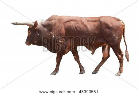 Watusi Big Ox Cow Isolated White