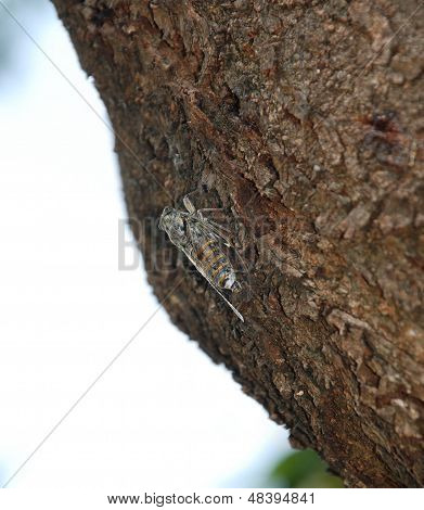 Lyristes Plebejus - Common Cicada