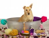 picture of bathtime  - Pampering time at the dog parlour for a cute golden coloured terrier dog who is sitting waiting patiently in a metal bathtub surrounded by bathing accessories for that special bathing experience - JPG