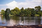 picture of duck pond  - A swan and ducks on Hammond - JPG