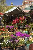 pic of lobelia  - Colorful flower market in Nice France on the Riviera - JPG