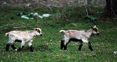 foto of cashmere goat  - picture of two little goats walking in the field - JPG