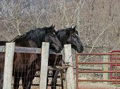 picture of hayride  - A matched pair of old work horses frequently used to take people on hayrides stand together by the barnyard fence - JPG