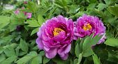 foto of rare flowers  - Peony is China - JPG