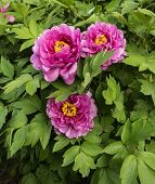 pic of rare flowers  - Peony is China - JPG