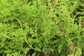 Green Holy Basil With Flower And Seed