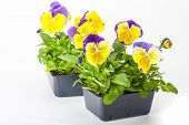 image of greenhouse  - Pansy transplants grown in greenhouse packs - JPG