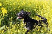 stock photo of mongrel dog  - Farm dog in a field of canola - JPG