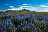 Meadows full of blooming Nootka lupin (Lupinus nootkatensis) under the Snaefellsjokull glacier, Snaefellsnes peninsula, Iceland.  poster