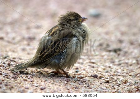 Tousled Sparrow