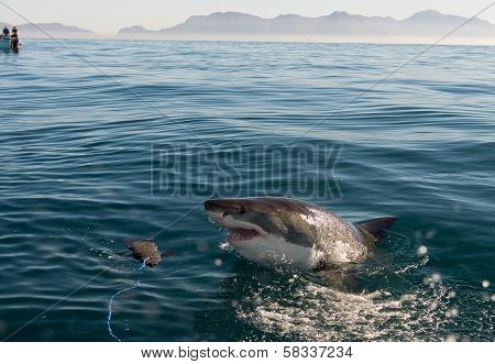 Great White Shark (carcharodon Carcharias) Attack