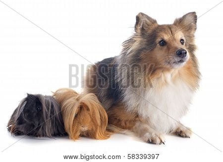 Peruvian Guinea Pig And Shetland Dog