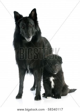 Puppy And Adult Groenendael
