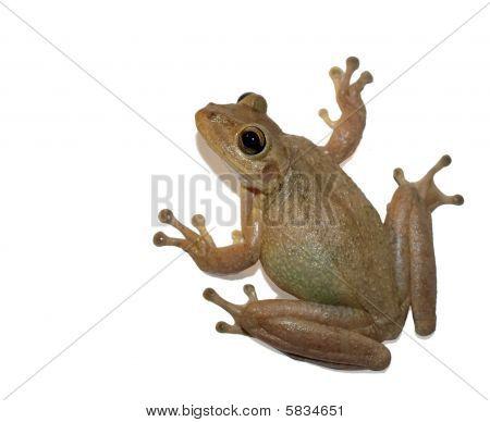 Tree Frog Of Florida