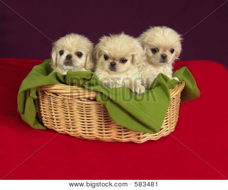 Three Pekinese Puppies