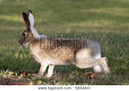 Wild Rabbit On High Alert