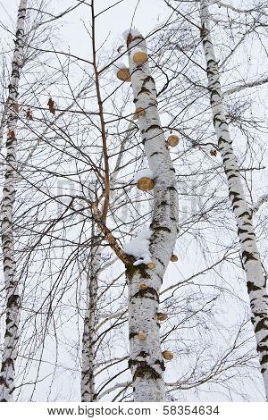 Mushrooms On A Birch Tree