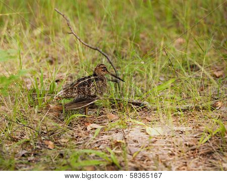 Snipe Gallinago Media