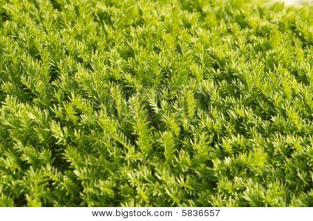 Green Needles