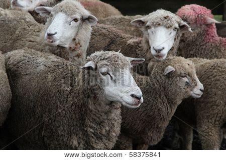 Sheep Of A Chilean Estancia