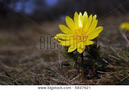 False Hellebore (adonis Vernalis)