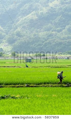 Farmer Spray Insecticide In The Farm