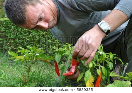 Young Farmer Cultivating Curved Pepperonis