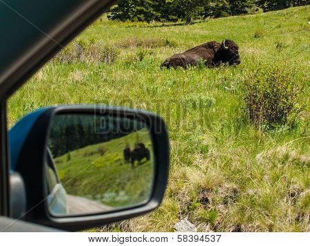 Majestic American Bison At The National Bison Range In Montana, Usa As Seen Through The Window Af A