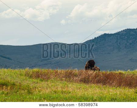 Majestic American Bison