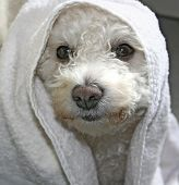 picture of cute dog  - Cute dog with towel around its head - JPG