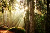 stock photo of coniferous forest  - beautiful mystical forest and sunbeams - JPG