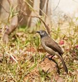 foto of babbler  - Brown Babbler in garden in Bijilo in The Gambia - JPG