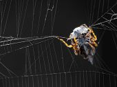 stock photo of killing  - orb weaver (argiope) spider on its web tending its kill