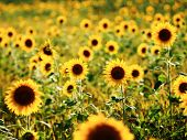 stock photo of sunflower  - A beautiful sunflower field with lots of sunflowers - JPG