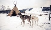 stock photo of teepee  - Husky dogs near wigwam in winter forest - JPG