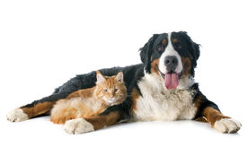stock photo of coon dog  - portrait of a purebred bernese mountain dog and maine coon cat in front of white background - JPG