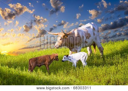 Longhorn Cow And Calves Grazing At Sunrise