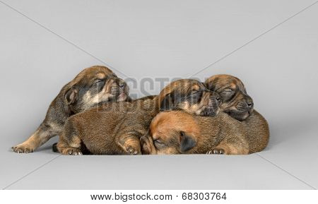 Four Pure Breed Teckel New Born Puppies