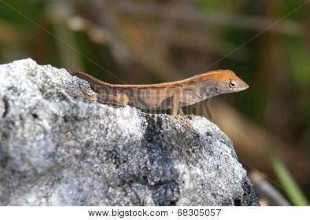 Brown Anole Lizard (anolis Sagrei)