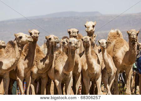 Camels For Sale At Livestock Market. Babile. Ethiopea.